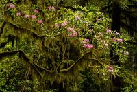 Rhododendron, Jed Smith SP